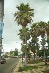 Пальма карнауба